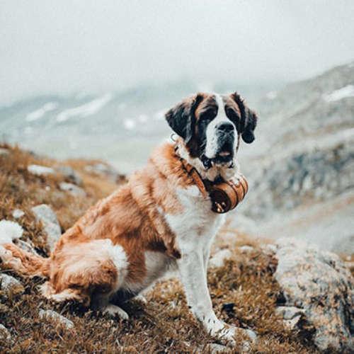 The Barry Foundation - dedicated to Saint Bernard dogs